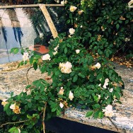 Boat and Roses