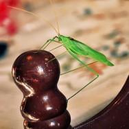 Early Grasshopper