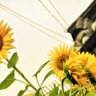 Sunflower at Bukcheon